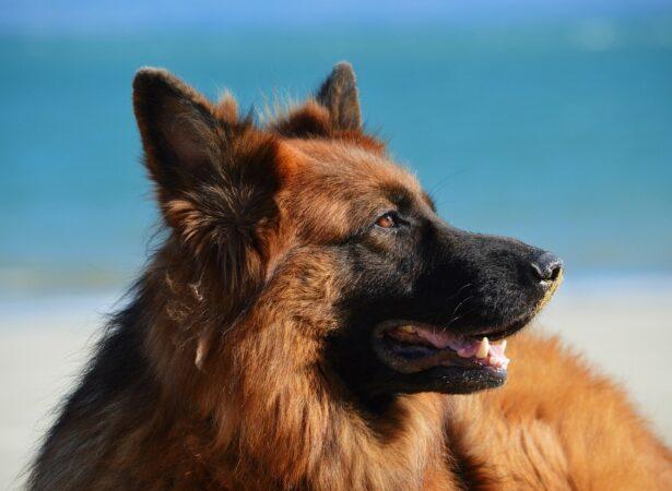dog-1209914_960_720 chien pour arriere plan