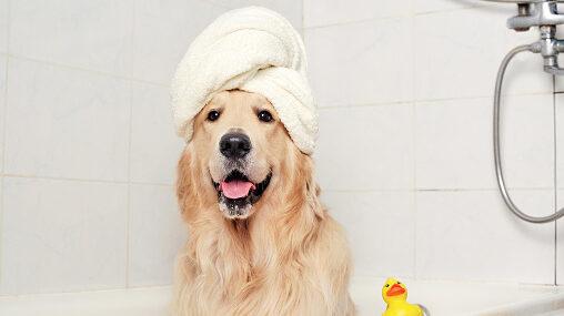 Golden retriever in a towel turban sitting in the bathtub