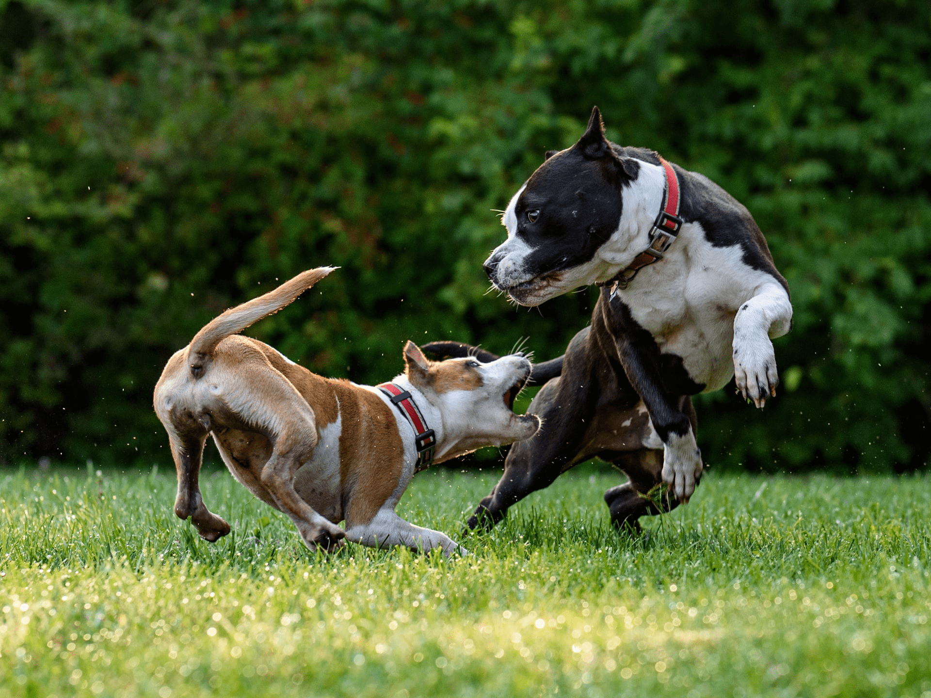 dogs-attacking-min